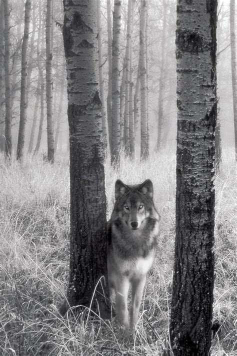 Wolf Wallpaper For Iphone 11 by Wolf In The Woods Iphone 4s Wallpapers Free