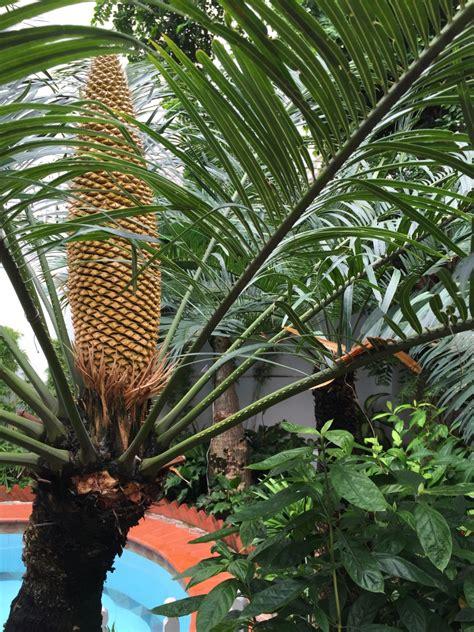 cycas pectinata images  tropical plants