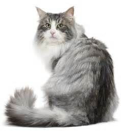 forest cat for forest cat royal canin