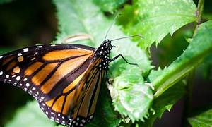 Protecting Monarch Butterflies and Their Forests   Stories ...