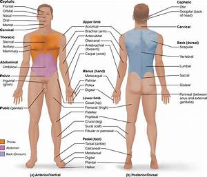 1 5 Anatomical Terms Describe Body Directions  Regions
