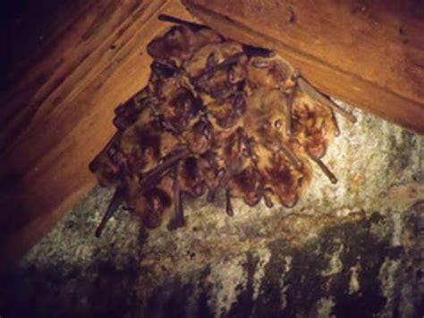 pa bat removal bat control bat exclusion bats in attic