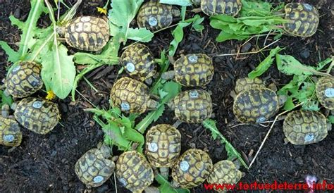 adopter une tortue