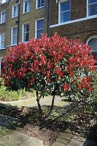 Photinia Red Robin : photinia x fraseri red robin landscape architect 39 s pages ~ Michelbontemps.com Haus und Dekorationen