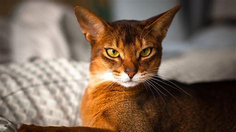 cat breeds most