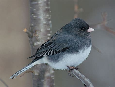 toronto and southern ontario birding view topic winter