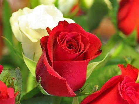 Rose Flower Wallpapers For Desktop