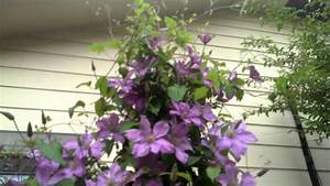 Best Plants For Morning Sun Afternoon Shade - Clematis