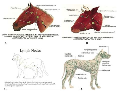 anatomical location of animal lymph node. A: Horse; B