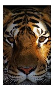 animals, Tiger Wallpapers HD / Desktop and Mobile Backgrounds