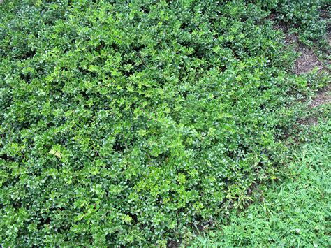 low growing ground cover top 28 low growing ground cover 3706416541 348c82f126 z jpg top 28 low growing ground