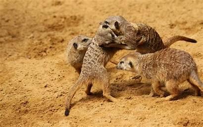 Meerkats Mammals Fighting Murderous Meerkat Fight Among