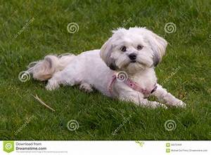 White Maltese Dog / Shih Tzu With Pink Collar Playing ...