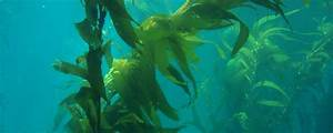 How Kelp Naturally Combats Global Climate Change