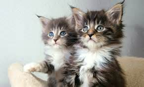 distemper in cats feline distemper distemper co uk