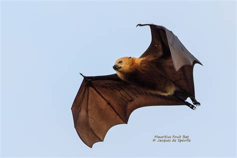 mauritius must end unjustified mass cull of megabats