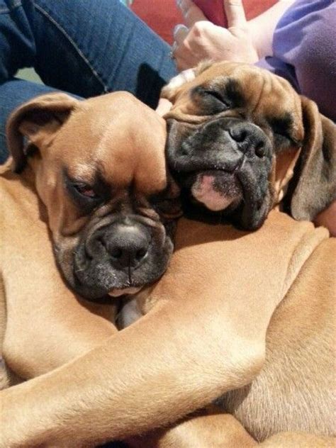 weirdest   wonderful boxer sleeping