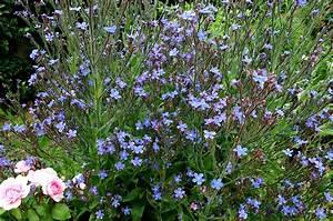 buglosse planter et cultiver ooreka With modeles de rocailles jardin 4 gypsophile planter et cultiver ooreka