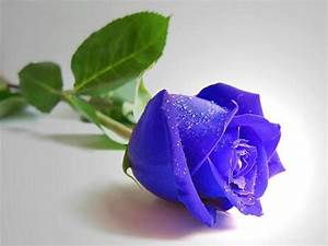 Shiny Purple Blue Rose with Leaves ~ Artline : Feel The ...