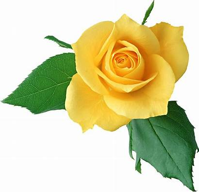 Yellow Rose Clipart Clip Roses розы Icon