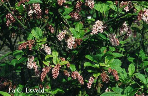 What Is Botanical Garden by Picture And Description Of Syringa Komarowii Subsp Reflexa