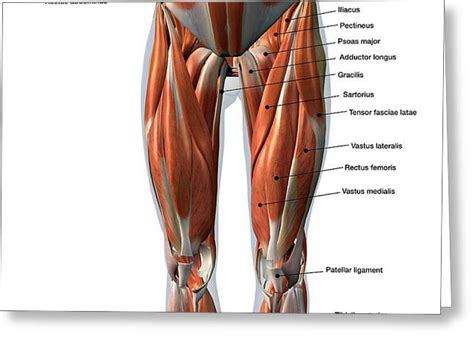 Male and female musculoskeletal system. Psoas Major Muscle Greeting Cards (Page #2 of 3) | Fine ...