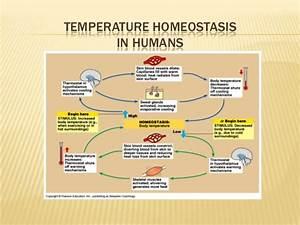 Thermoregulation Control Of Body Temperature