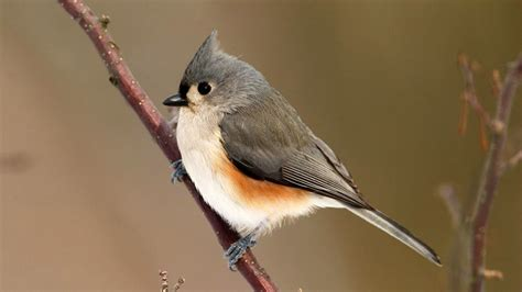 tufted titmouse wallpaper 710839