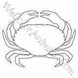 Coloring Crab Pages Pinchers Template sketch template