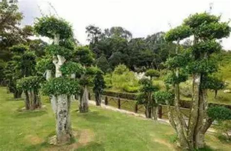 menanam bonsai serut bibitbungacom