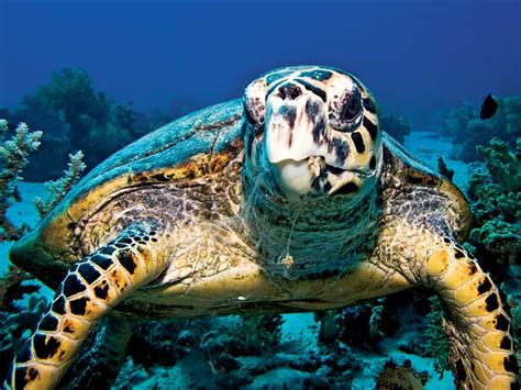 turtle hawksbill sea endangered turtles ocean pacific species jewelry souvenirs fish reptile turtleshell buying imbricata eretmochelys facts britannica animal thinkstock