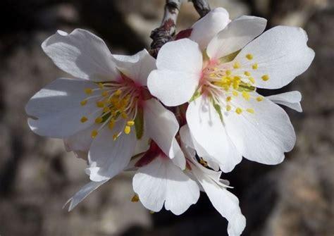 fiore di mandorlo fiori di mandorlo idee green