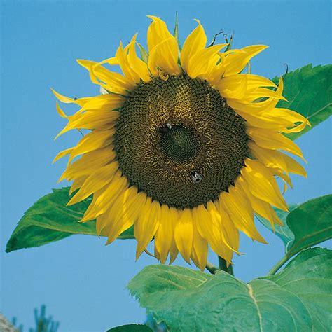 jual bibit bunga matahari besar benih biji sunflower