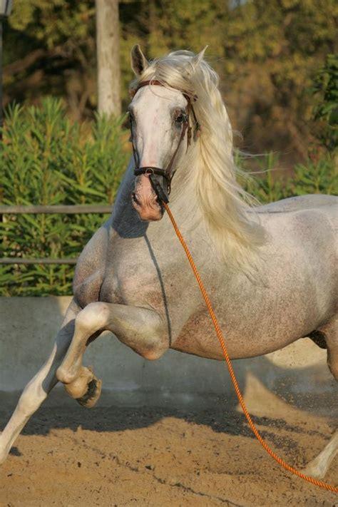 horse andalusian breed horses peninsula iberian pure spanish breeds characteristics most