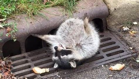 fat raccoon stuck  sewer grate newshub