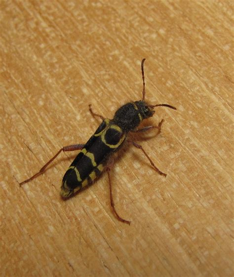larder beetle in bedroom 28 images natureplus beetle