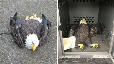 bald eagle recovering  hit  car left  side