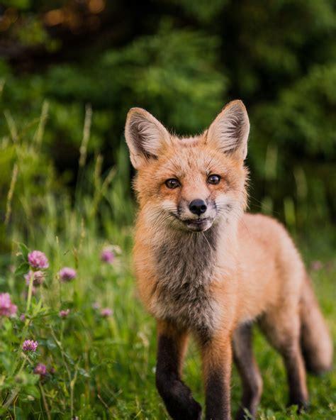 animals fox orange wallpaper animal wallpapers
