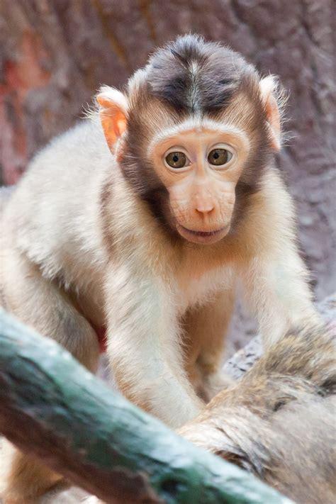 baby monkey  stock photo public domain pictures