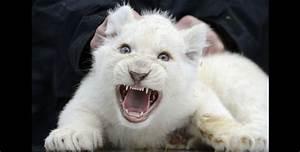dayvb león blanco