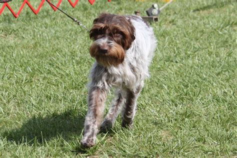 wirehaired pointing griffon history and health temperament breeds picture
