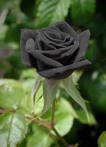 20 Black Rare Rose Fresh Seeds, Exotic Home Garden Plant ...