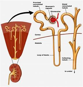 97 Structure Of The Kidney  The Nephron