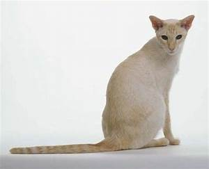 Cat breeds: Colorpoint Shorthair Cat personality - Dogalize