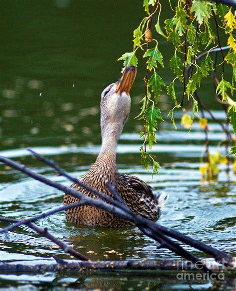 what do mallard ducks eat mallard duck eating photograph by terry elniski