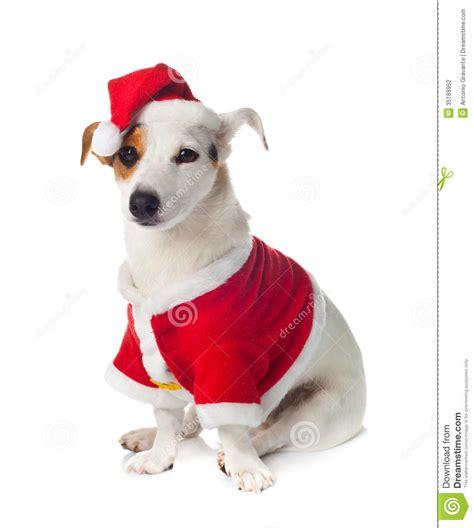 Terrier Dressed As Santa Claus Stock Photo Russel Wearing Santa Claus Dress Stock Photo