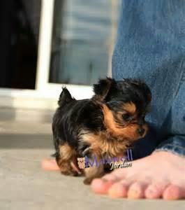 Yorkie Puppy Love