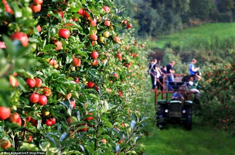 where to go for apple picking this fall go apple picking in america s best orchards triphobo travel blog