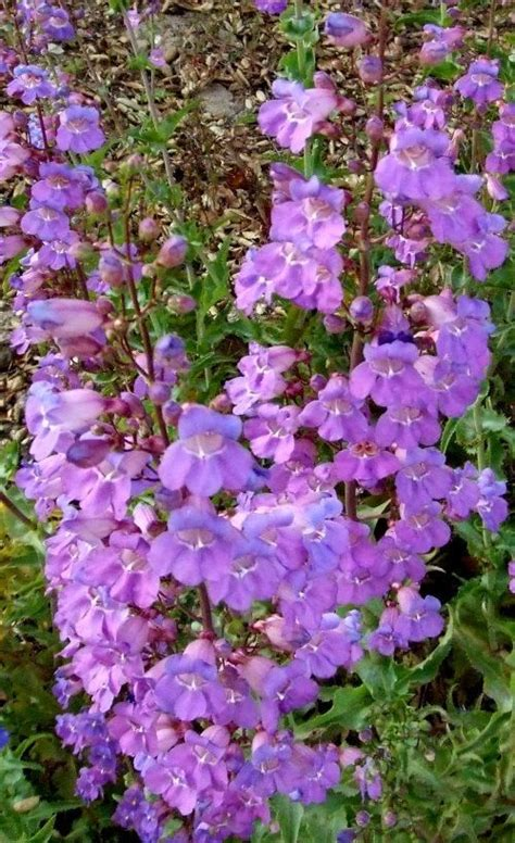 perennials for southern california penstemon spectabilis showy penstemon can be a very hot lavender addition to a california