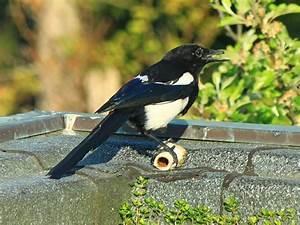 Elster Vogel Vertreiben : eine diebische elster hat meinem hund den knochen geklaut ~ Lizthompson.info Haus und Dekorationen
